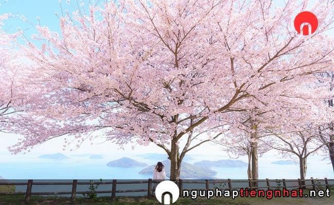 Những địa điểm ngắm hoa anh đào ở Nhật, Du lịch Shikoku
